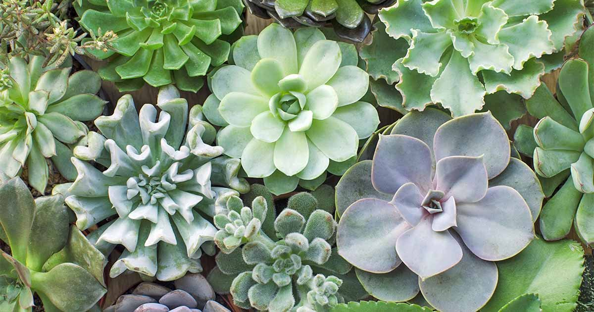 11 Best Easy-Care Exotic Succulents to Grow at Home | Gardener's Path